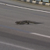 A Reptile Invades Formula One Track During Singapore Race
