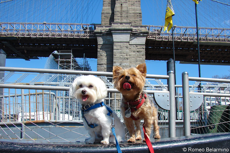 Henry and Charlie in New York City Pet-Friendly Vacations Tips for Traveling with Dogs