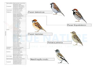 Gorriones del mundo. A la derecha imágenes de las 5 especies de gorriones ibéricos.
