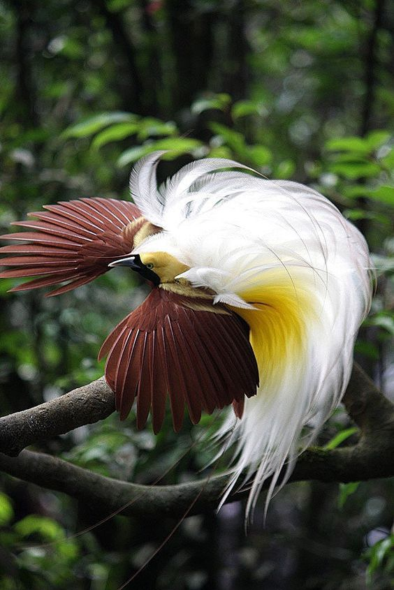 Greater Bird of Paradise (Paradisaea apoda) | Our World's 10 Beautiful and Colorful Birds