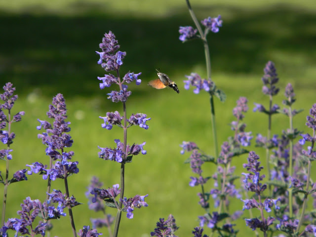 Top plant picture blogs for Gardeners. Hummingbird moth feeds on Nepeta