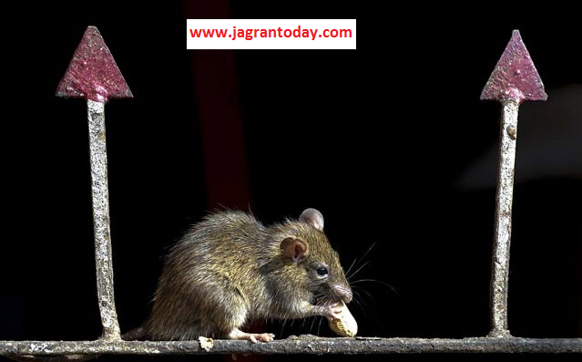 Never Kill Mouse Rat the Vehicle of Lord Ganesha Ganpati