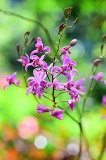 Tropical Orchids in Puriscal