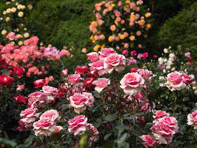 Rose garden_Ohuna Botanical Garden (Kamakura)