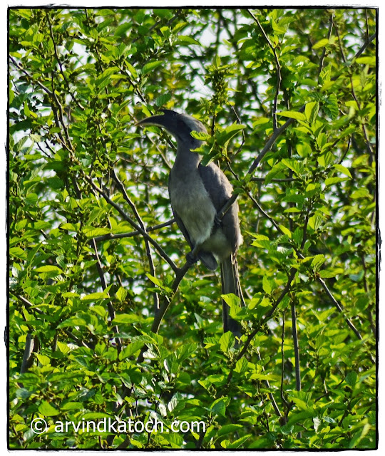 Indian Grey Hornbill, Tree