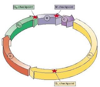 resulasi siklus sel, regulasi mitosis, mitosis, pengaturan mitosis