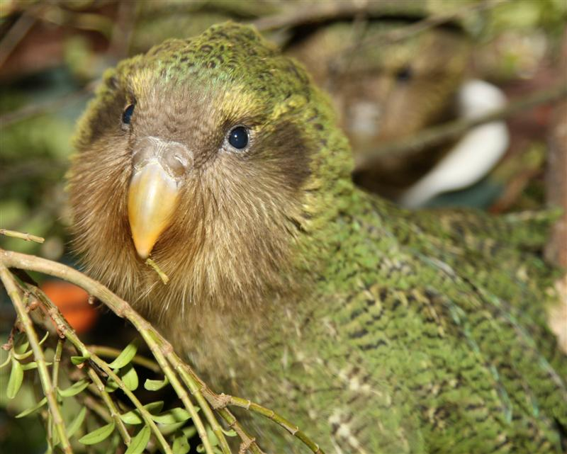 طيور ملونه روعه 2016 ، طائر البغبغان المميز 2016 ، صور طيور منوعه 1Kakapo.jpg