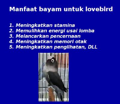 manfaat bayam untuk lovebird