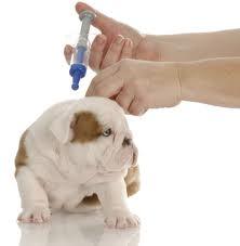 Vacunando el perro