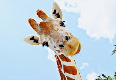 Cientistas afirmam que há quatro espécies de girafas na natureza