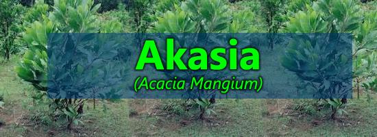 cara menanam akasia, budidaya pokok akasia, akasia, acacia mangium