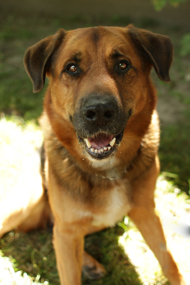 Tucker - German Shepherd Rottweiler mix