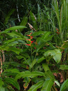 Photos de Zingiberales du Panama