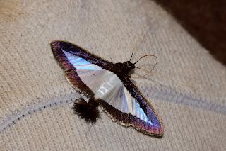 Pom Pom Moth