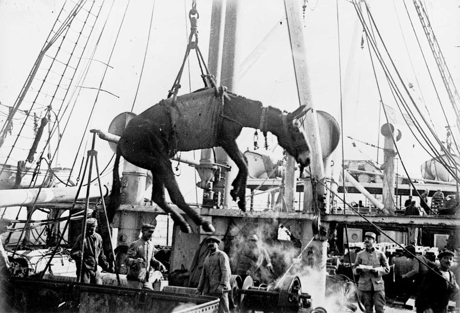 Unloading a mule in Alexandria, Egypt, in 1915. The escalating warfare drove Britain and France to import horses and mules from overseas by the hundreds of thousands. Vulnerable transport ships were frequent targets of the German Navy, sending thousands of animals to the bottom of the sea.