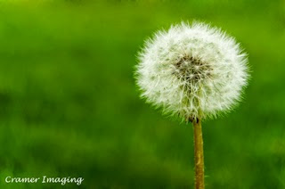 Professional quality fine art nature photograph of a dandelion seed puff against green grass in Pocatello, Bannock, Idaho by Cramer Imaging