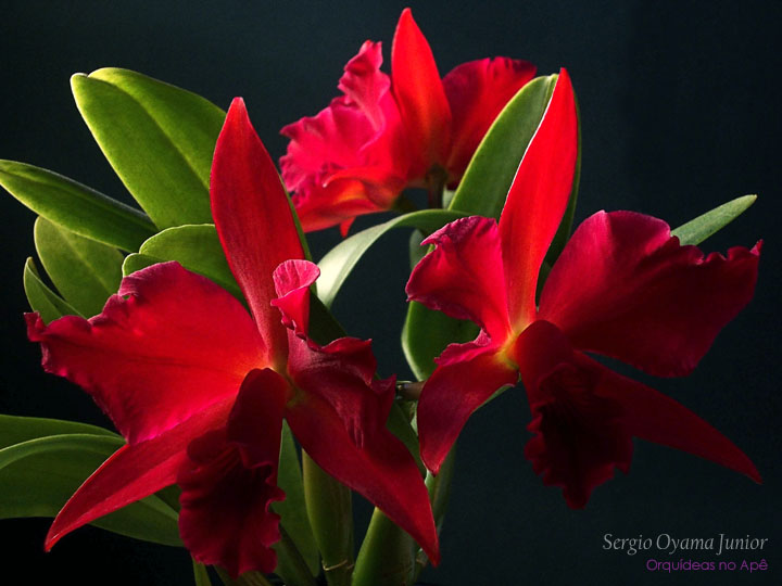 Sophrolaeliocattleya Jewel Box 'Dark Waters'
