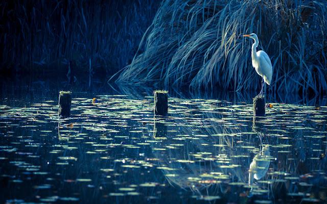 طائر البلشون الأبيض IMG_1907-57a9939918756__880