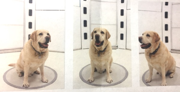 Labrador photographed for 3D print
