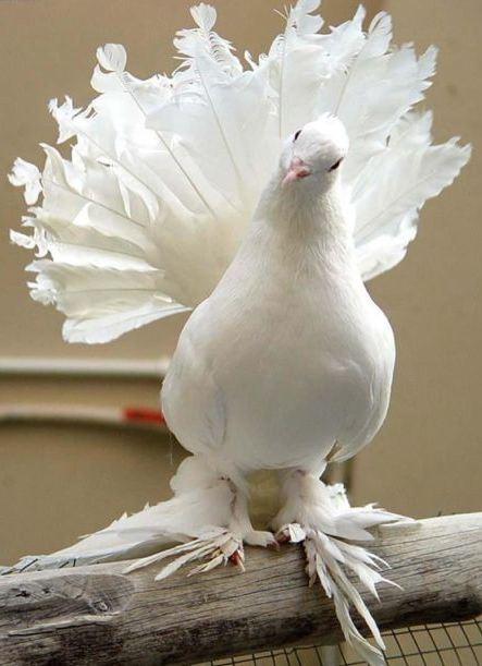 Beautiful_White_Pige