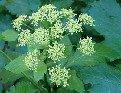 Flores blanquecinas del apio caballar (Smyrnium olusatrum)