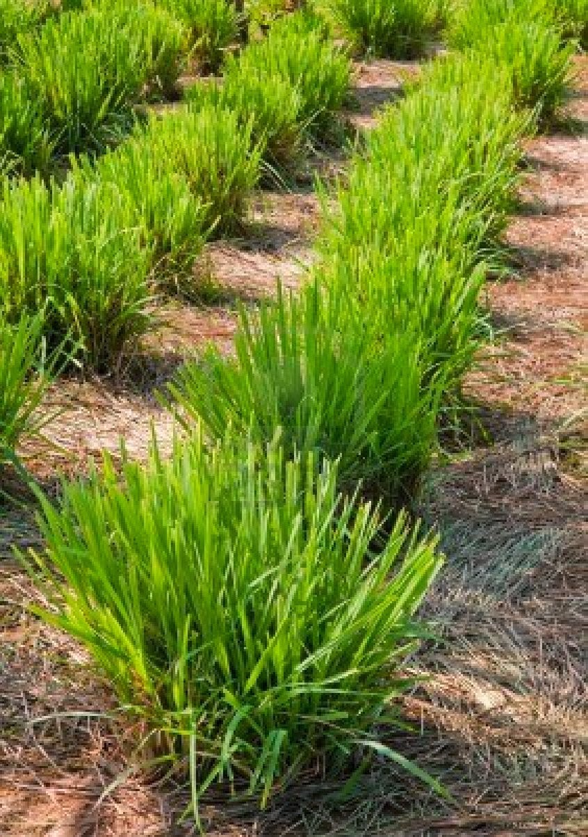 Cebuano Herbsman Lemon Grass The Green Cure For Cancer And The