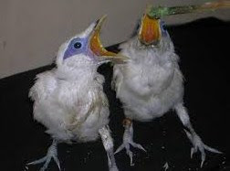 Burung Jalak Bali Anakan Sepasang Bersertifikat Resmi Umur 3 Hingga 4 Bulan