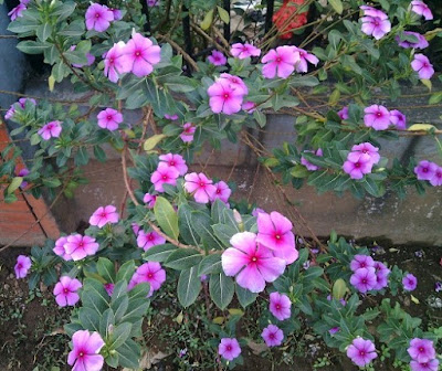 Tanaman Hias Tapak Dara (Catharanthus Roseus)