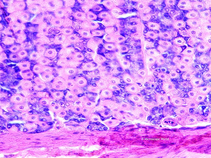 Microscope World Blog Stomach Fundic Region Under The Microscope