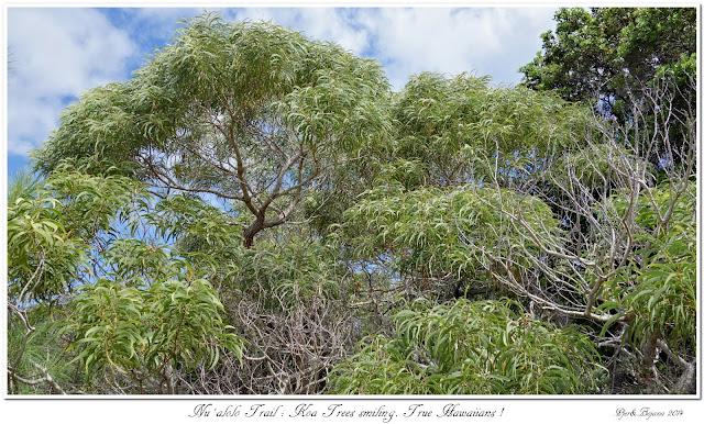 Nu'alolo Trail: Koa Trees smiling. True Hawaiians!