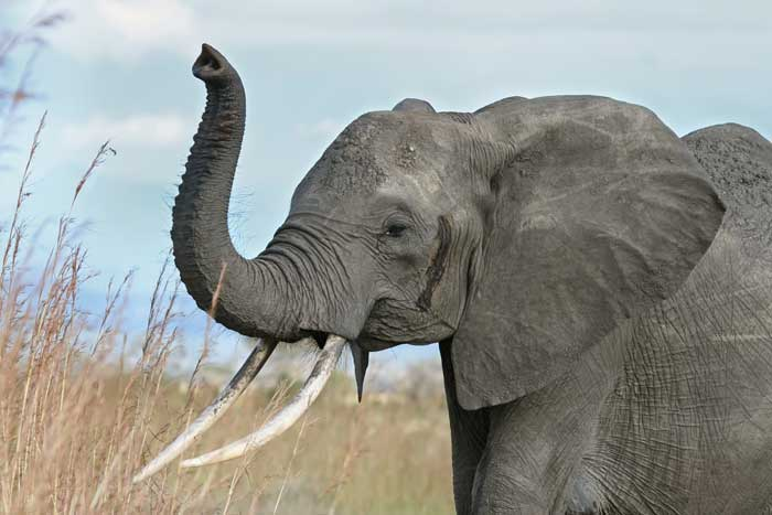 Elephants prefer one tusk over the other