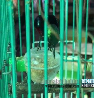 tahap-tahap mengajari kolibri makan voer