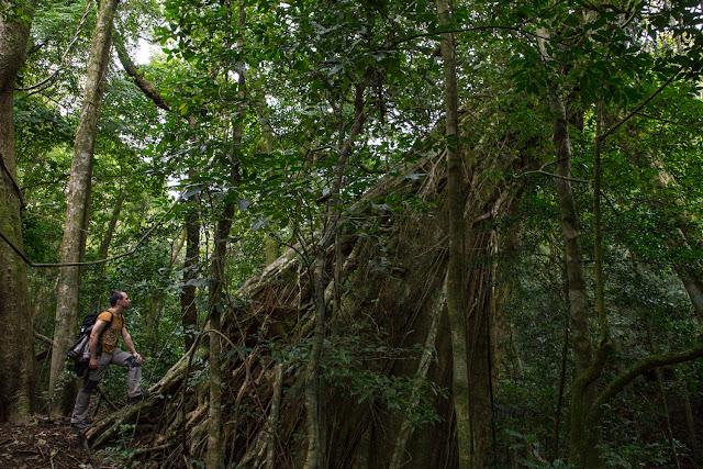 Enorme árbol en los senderos del Cloud Forest Lodge en Monteverde