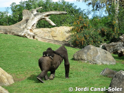 Gorila con cría en Bioparc Valencia