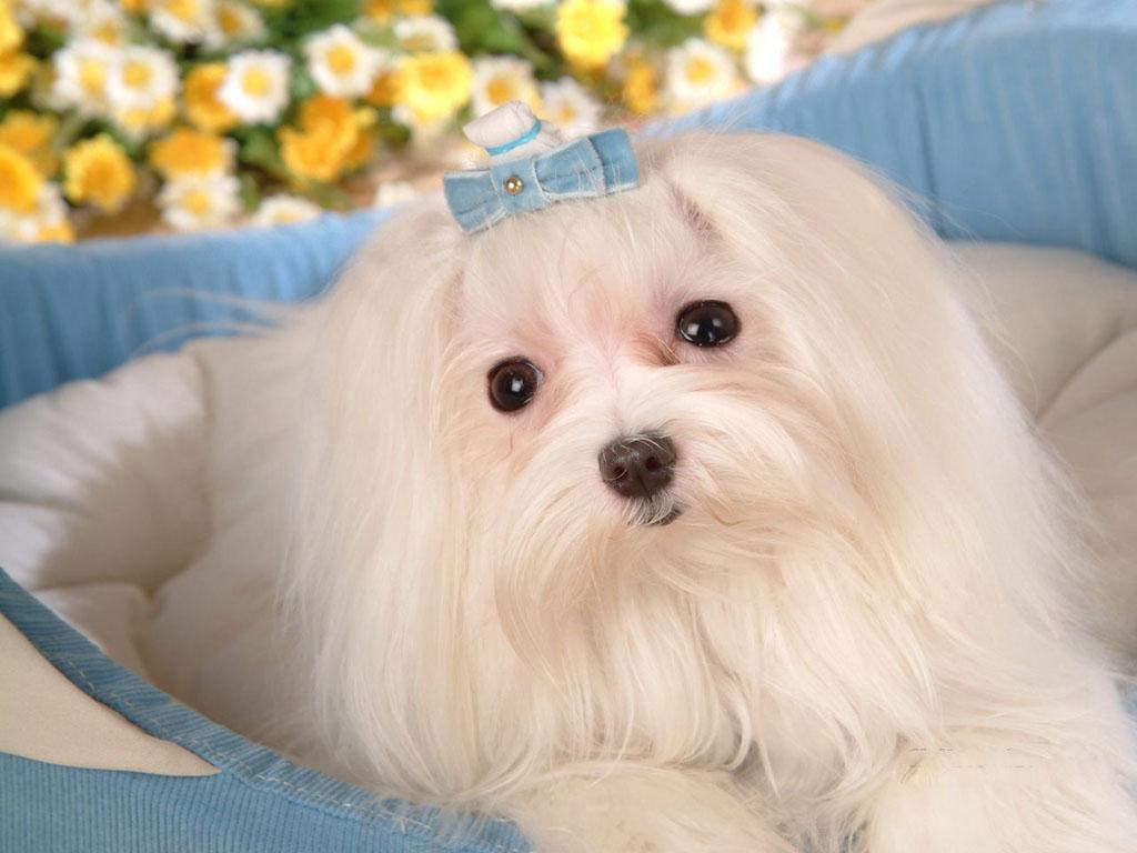 Cute Rottweiler Puppy Wallpaper Cute Puppy Dogs Maltese Puppies