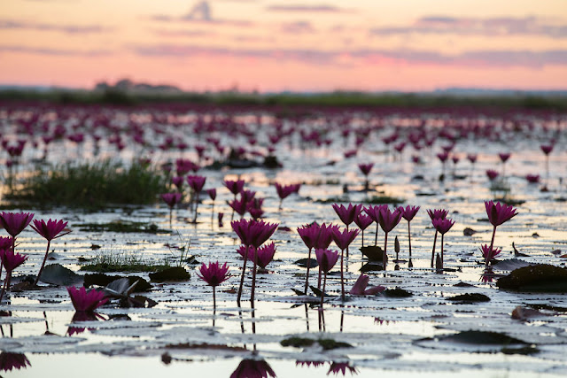 شاهد سحر بحيرة اللوتس الأحمر في تايلند I-visited-the-red-lotus-sea-in-Thailand-57b315f95ec8c__880