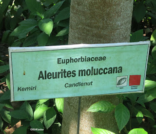 Aleurites moluccana, candlenut
