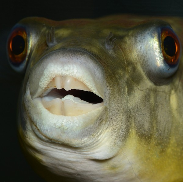 Pufferfish and humans share the same genes for teeth