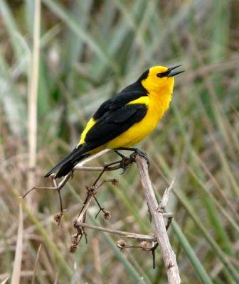 aves en extincion de Argentina Tordo amarillo Xanthopsar flavus