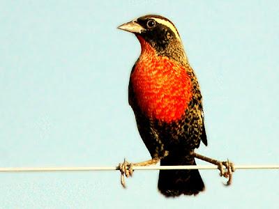nido de Pecho colorado Sturnella superciliaris