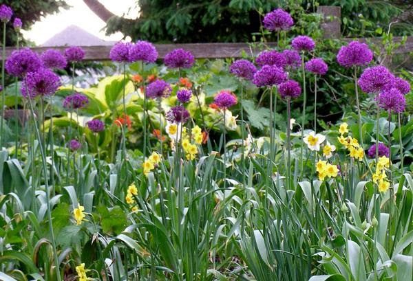 Allium y narcisos