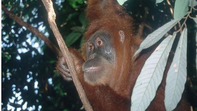 Survei Terbaru Mengatakan Jumlah Orangutan Meningkat Dua Kali Lipat