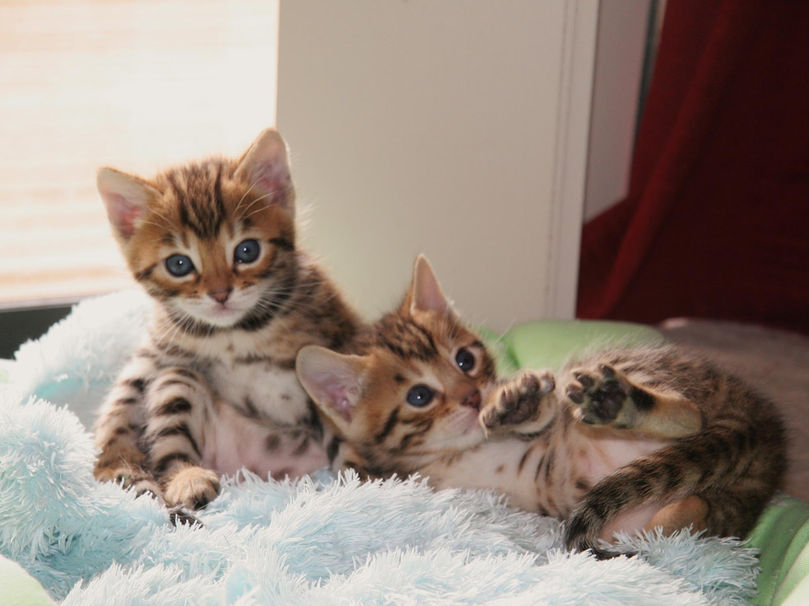 Cute Bengal Cats Wallpaper Bengal Cats Pets Cute And Docile