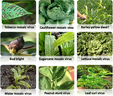 10 Examples of Viral diseases of Plants