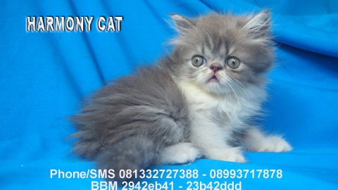 Jual Kucing Anggora Sidoarjo Software Kasir Full