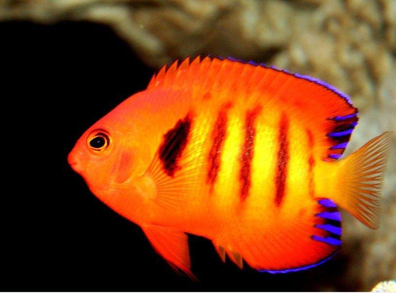 Jenis Ikan Hias Cantik Dan Murah Berikut Beberapa Nama Dan Gambarnya