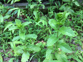Spearmint plants with weeds including fern