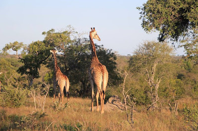 Jirafas en el Parque Kruger, Sudáfrica