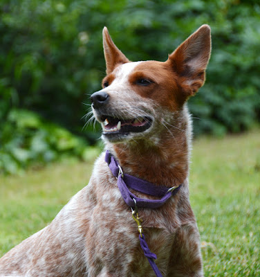 purple soft webbing limited slip dog collar