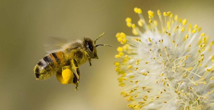 Saat Gerhana Total, Lebah Akan Diam dan Berhenti Bergerak